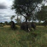 Ελέφαντες στην Τανζανία Στοκ Εικόνα