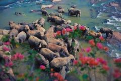 Ελέφαντες στον ποταμό Στοκ Εικόνες
