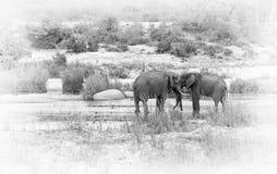 Ελέφαντες στον ποταμό Sabie στο εθνικό πάρκο Kruger, Νότια Αφρική Στοκ Εικόνα