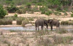 Ελέφαντες στον ποταμό Sabie στο εθνικό πάρκο Kruger, Νότια Αφρική Στοκ φωτογραφίες με δικαίωμα ελεύθερης χρήσης
