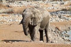 Ελέφαντες στο εθνικό πάρκο Etosha στη Ναμίμπια στοκ εικόνες