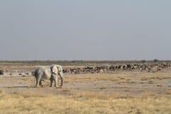 Ελέφαντες στο εθνικό πάρκο Etosha στη Ναμίμπια στοκ φωτογραφία