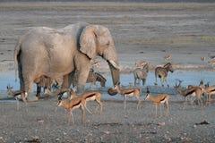Ελέφαντες στο εθνικό πάρκο Etosha στη Ναμίμπια στοκ φωτογραφία με δικαίωμα ελεύθερης χρήσης