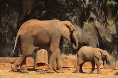 Ελέφαντες στο ζωολογικό κήπο Στοκ Εικόνα