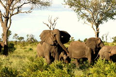 Ελέφαντες στο θάμνο Στοκ φωτογραφία με δικαίωμα ελεύθερης χρήσης