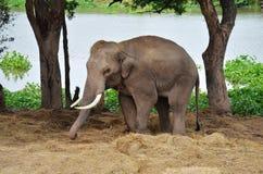 Ελέφαντες στο στρατόπεδο Ταϊλάνδη ελεφάντων Ayutthaya Στοκ εικόνα με δικαίωμα ελεύθερης χρήσης