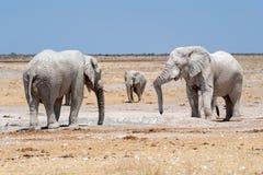 Ελέφαντες στο waterhole Ναμίμπια Στοκ Φωτογραφίες