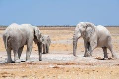 Ελέφαντες στο waterhole Ναμίμπια Στοκ Εικόνες
