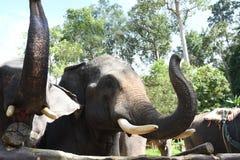 Ελέφαντες της Ασίας στην Ταϊλάνδη Στοκ Εικόνα