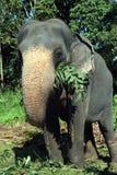 Ελέφαντες της Σρι Λάνκα - πάρκο Pinnawale Στοκ Εικόνα