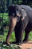 Ελέφαντες της Σρι Λάνκα - πάρκο Pinnawale Στοκ Εικόνες