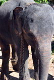 Ελέφαντες της Σρι Λάνκα - πάρκο Pinnawale Στοκ εικόνα με δικαίωμα ελεύθερης χρήσης