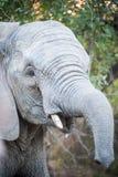 Ελέφαντες του πάρκου Kruger Στοκ φωτογραφία με δικαίωμα ελεύθερης χρήσης