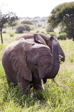 Ελέφαντες χρέωσης Στοκ εικόνα με δικαίωμα ελεύθερης χρήσης