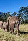 Ελέφαντες Στοκ εικόνες με δικαίωμα ελεύθερης χρήσης