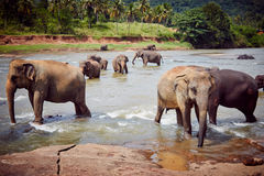 Ελέφαντες Στοκ Εικόνες