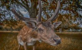 Ελαφιών στο πάρκο του Ρίτσμοντ Στοκ Φωτογραφίες