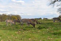 Ελαφιών στο πάρκο του Ρίτσμοντ Στοκ φωτογραφία με δικαίωμα ελεύθερης χρήσης