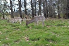Ελαφιών στο πάρκο του Ρίτσμοντ Στοκ Εικόνα