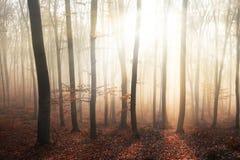 Ελαφριές ακτίνες fogy στο δάσος Στοκ φωτογραφίες με δικαίωμα ελεύθερης χρήσης