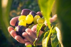 Ελαφρύς ήλιος σταφυλιών δαμάσκηνων χεριών φρούτων Στοκ Εικόνα