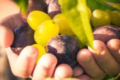 Ελαφρύς ήλιος σταφυλιών δαμάσκηνων χεριών φρούτων Στοκ εικόνα με δικαίωμα ελεύθερης χρήσης