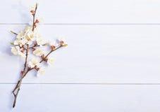 Ελαφρύ ιώδες υπόβαθρο με τους ανθίζοντας κλάδους βερίκοκων Στοκ φωτογραφία με δικαίωμα ελεύθερης χρήσης