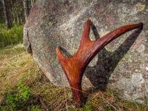 Ελαφόκερες μιας νέας άλκης στο υπόβαθρο της πέτρας Στοκ Εικόνες