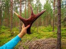 Ελαφόκερες μιας νέας άλκης στο υπόβαθρο της πέτρας Στοκ Εικόνα