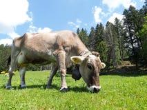 Ελβετική αγελάδα κανένα κέρατο Στοκ φωτογραφία με δικαίωμα ελεύθερης χρήσης
