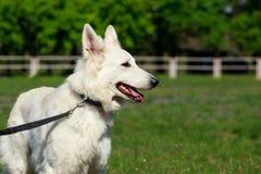ελβετικό λευκό ποιμένων σκυλιών Στοκ φωτογραφία με δικαίωμα ελεύθερης χρήσης
