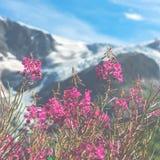 Ελβετικό Apls με τα άγρια ρόδινα λουλούδια Στοκ Εικόνα