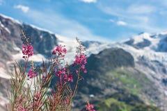 Ελβετικό Apls με τα άγρια ρόδινα λουλούδια Στοκ φωτογραφίες με δικαίωμα ελεύθερης χρήσης