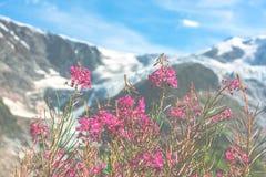 Ελβετικό Apls με τα άγρια ρόδινα λουλούδια Στοκ Εικόνες