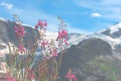 Ελβετικό Apls με τα άγρια ρόδινα λουλούδια Στοκ Φωτογραφία