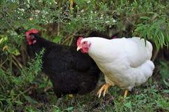 Ελεύθερα κοτόπουλα σειράς Στοκ εικόνες με δικαίωμα ελεύθερης χρήσης