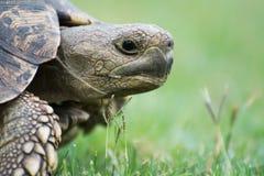 Ελεύθερη χελώνα διαβίωσης στη Μποτσουάνα Στοκ εικόνα με δικαίωμα ελεύθερης χρήσης