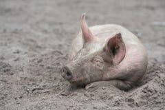 Ελεύθερος ύπνος χοίρων σειράς στη λάσπη Στοκ Εικόνες