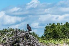 Ελεύθερο πουλί Μεξικό yucatan άγριας φύσης γερακιών γερακιών Στοκ φωτογραφίες με δικαίωμα ελεύθερης χρήσης