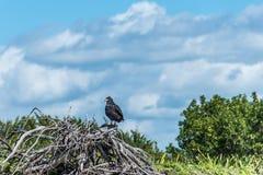 Ελεύθερο πουλί Μεξικό yucatan άγριας φύσης γερακιών γερακιών Στοκ φωτογραφία με δικαίωμα ελεύθερης χρήσης