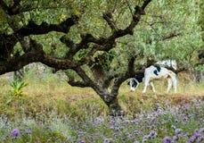 Ελληνική αγελάδα σε ένα λιβάδι Στοκ φωτογραφία με δικαίωμα ελεύθερης χρήσης