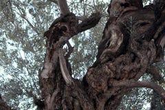 Ελιά, κήπος Gethsemane Στοκ Εικόνες