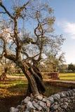 Ελιά στην επαρχία Ιταλία apulia Στοκ εικόνα με δικαίωμα ελεύθερης χρήσης