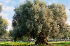 Ελιά στο apulia (Ιταλία) Στοκ Φωτογραφίες