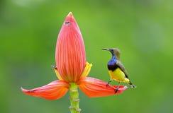 Ελιά-υποστηριγμένα sunbird jugularis Cinnyris Στοκ Φωτογραφία