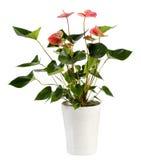 Ελκυστικές Anthurium εγκαταστάσεις λουλουδιών στο άσπρο δοχείο Στοκ Εικόνες