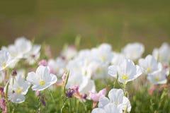 Ελκυστικό Primrose βραδιού στοκ εικόνες