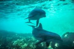 δελφίνια που κολυμπούν δύο Στοκ φωτογραφία με δικαίωμα ελεύθερης χρήσης