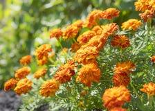 Εδώδιμα λουλούδια, marigolds στον κήπο Στοκ Εικόνες