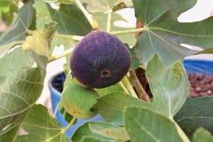Εδώδιμα πορφυρά φρούτα σύκων στον κλάδο του δέντρου σύκων Στοκ φωτογραφία με δικαίωμα ελεύθερης χρήσης